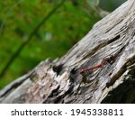Two Dragonflies Copulating On A ...
