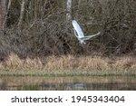 Great Egret Flying Over A Wet...