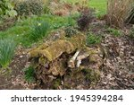 Decaying Tree Stump Covered...