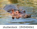 Hippo Hippopotamus Swimming In...