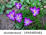 Purple Or Violet Young Crocuses ...