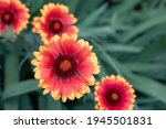 Gaillardia Aristata Red Yellow...
