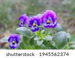 Violet Pansy Flower  Closeup Of ...