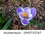 White Purple Orange Crocus...