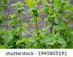 Red Currant. Beautiful Spring...
