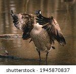 Candian goose at a michigan...