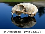 A Cat Skull On The Hood Of A...