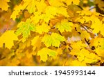 Yellow Autumn Maple Leaves View....