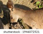 A Kangaroo Sniffs And Rummages...
