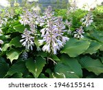 Blooming Hosta Elata In The...