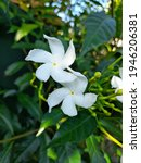 Small photo of Bloomed white flowers with buds in green brack ground