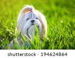 Shih Tzu Dog In Grass.