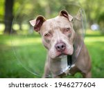A Pit Bull Terrier Mixed Breed...