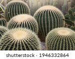 Large Group Of Barrel Cactus In ...