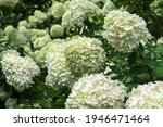 White Hydrangea Flowering...