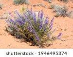 Wild Lupine Flowers Blooming In ...