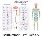 human nervous system.... | Shutterstock .eps vector #1946505577