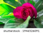One Pink Rose Bud Lies On A...