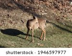 A Female Whitetail Deer Grooms...