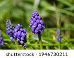 Flowers Of A Grape Hyacinth ...
