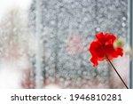 Red Geranium Flower On The...