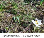 A Bee Is Pollinating A Crocus...