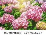 Beautiful Hydrangea Flowers  ...