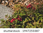 Res Berries Shrub  Foliage...