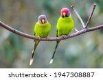 Love Birds Plum Headed Parakeet ...