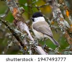 The Marsh Tit  Poecile...