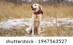 Golden Retriever Dog With Scarf ...