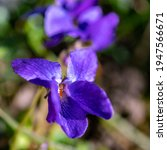 Small photo of Spring flower violet, shiner, viola in the green alpine meadow. blue, purple blossoms in the sunshine. early spring marker.