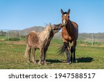 Pony Kissing Horse In Pasture