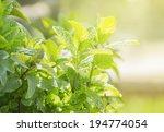 Mint In Garden In Sunshine