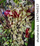 Small photo of Photo of Hoya flower petals growing lengthwise in red plastic bottle pots in garden, blur background and sides.