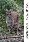 Brown Kangaroo Posing For A...