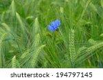 cornflower   jung cornfield   Shutterstock . vector #194797145