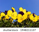 Yellow And Violet Pansy Flowers ...