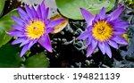 Two Purple Lotus Flowers