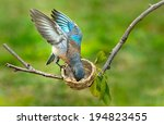 female bluebird picking a worm... | Shutterstock . vector #194823455