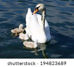 White Swan Cygnets With Mother...
