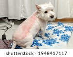 Small photo of West highland white terrier after trimming. Trimmed westie. White dog. Incorrect trimming. Bad trimming. Skin irritation after trimming. Dog grooming. High quality photo