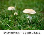 White Mushrooms In Family On A...