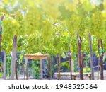 Ripe Green Grape In Vineyard....