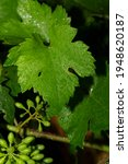 Viticulture   Flowers Of The...
