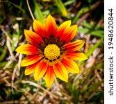Treasure Flower  Gazania...