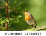 robin redbreast on garden fence ...   Shutterstock . vector #194865599