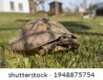 Small photo of Female turtle. Land turtle strolling in the garden. Garden reptile. Hermann's tortoise, land tortoise