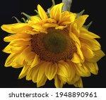 Yellow Sunflower Closeup Macro...