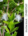 Small photo of Myrtus myrtle - Plantae Angiosperms Eudicots Rosids Myrtales Myrtaceae. Closeup.